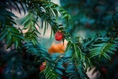 Европейские ягоды красного цвета yew Стоковое фото RF