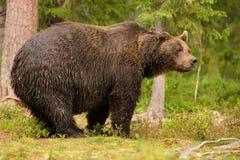 Европейские arctos ursos бурого медведя мужские в бореальном лесе Стоковое Изображение