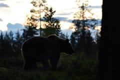 Европейские arctos ursus бурого медведя Стоковое Изображение