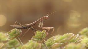 Европейские Mantis или богомол, religiose Mantis акции видеоматериалы