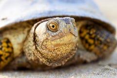 Европейские orbicularis Emys черепахи болота Стоковые Изображения RF
