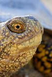 Европейские orbicularis Emys черепахи болота Стоковое фото RF