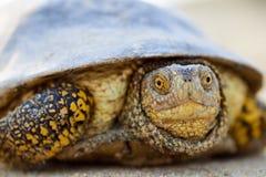 Европейские orbicularis Emys черепахи болота Стоковые Изображения