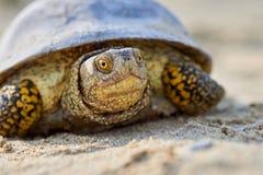 Европейские orbicularis Emys черепахи болота Стоковое Фото