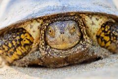 Европейские orbicularis Emys черепахи болота Стоковые Фото