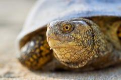 Европейские orbicularis Emys черепахи болота Стоковая Фотография RF