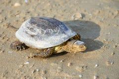 Европейские orbicularis Emys черепахи болота Стоковые Фотографии RF
