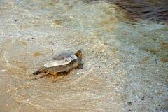Европейские orbicularis Emys черепахи болота Стоковое Изображение RF
