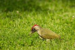 Европейские viridis Picus зеленого woodpecker Стоковые Фото