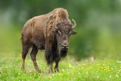 Европейский бизон в луге лета Стоковая Фотография RF