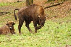 Европейский бизон на луге стоковое изображение