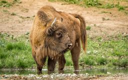Европейский бизон, также известный как зубр или европейский деревянный бизон Стоковое фото RF