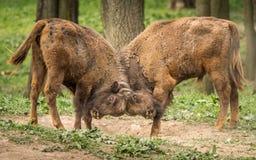 Европейский бизон, также известный как зубр или европейский деревянный бизон Стоковое Изображение RF