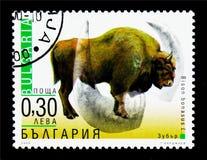 Европейский бизон (bonasus) бизона, приспособленное serie животных, около 200 Стоковые Фотографии RF
