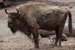 Европейский бизон & x28; Bonasus& x29 бизона; стоковое изображение