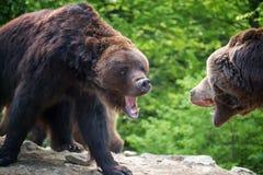 Европейский бурый медведь в ландшафте леса Стоковые Изображения RF