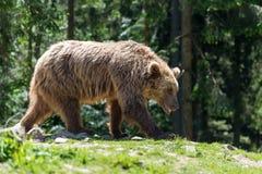 Европейский бурый медведь в ландшафте леса Стоковое Фото