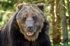 Европейский бурый медведь в ландшафте леса Стоковые Изображения