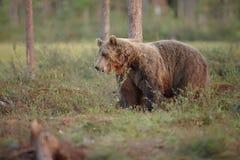 Европейский бурый медведь, Финляндия стоковые фото