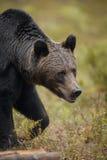 Европейский бурый медведь в лесе стоковая фотография