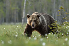 Европейский бурый медведь идя в трясину Стоковые Фотографии RF