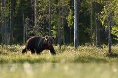 Европейский бурый медведь идя на лето в финском taiga Стоковая Фотография