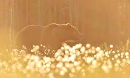 Европейский бурый медведь на заходе солнца Медведь в заднем свете Стоковое Изображение RF