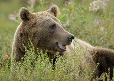 Европейский бурый медведь ослабляя стоковое изображение