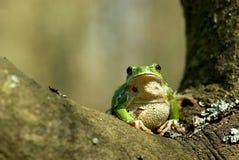 европейский вал лягушки Стоковая Фотография