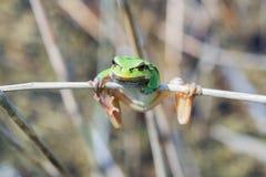 европейский вал лягушки Стоковое Фото