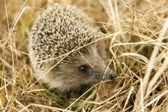 Европейский еж пряча в траве Стоковая Фотография