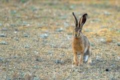 Европейский заяц стоит на том основании и смотрящ europaeus Lepus камеры стоковое фото rf