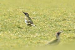 Европейский зеленый Woodpecker Стоковые Фото