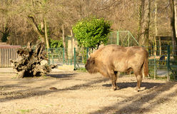 Европейский зубробизон (bonasus зубробизона) стоковое изображение rf