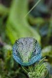 Европейский конец зеленой ящерицы вверх Стоковое Изображение RF