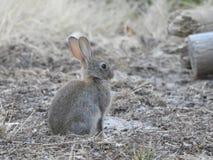 Европейский кролик сидя мирно стоковое изображение