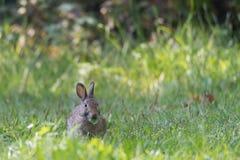 европейский кролик стоковое изображение
