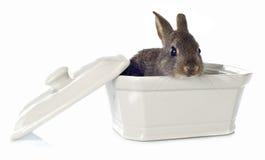 европейский кролик Стоковые Изображения RF