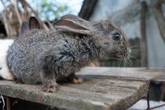 Европейский милый кролик зайчика на стороне страны Стоковое Изображение RF