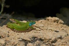 Европейский мужчина и женщина зеленых ящериц на утесе Стоковые Изображения