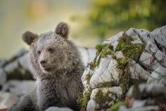 Европейский новичок бурого медведя стоковая фотография