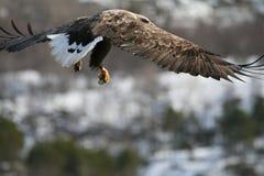 Европейский орел моря Стоковые Фотографии RF