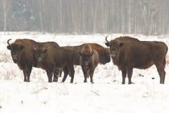 Европейский одичалый бизон Стоковые Изображения