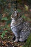 Европейский одичалый кот Стоковое Изображение RF