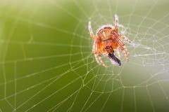 Европейский паук сада с обедающим стоковое изображение