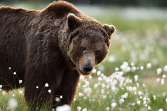 Европейский портрет бурого медведя Стоковые Изображения RF
