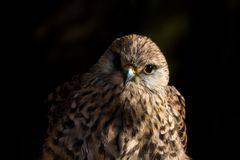 Европейский портрет tinnunculus falco Kestrel с черным backgro Стоковые Изображения RF