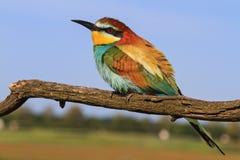 Европейский пчел-едок - покрашенная птица Стоковая Фотография RF