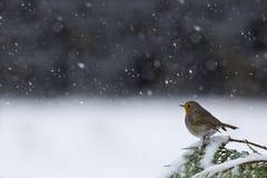 Европейский робин, в снежном ландшафте Стоковые Изображения RF