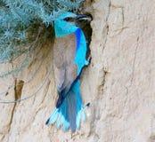 Европейский ролик с grasshopers в клюве сидит около гнезда Стоковое фото RF